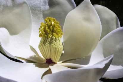 magnolia-flowers-park-spring.jpg