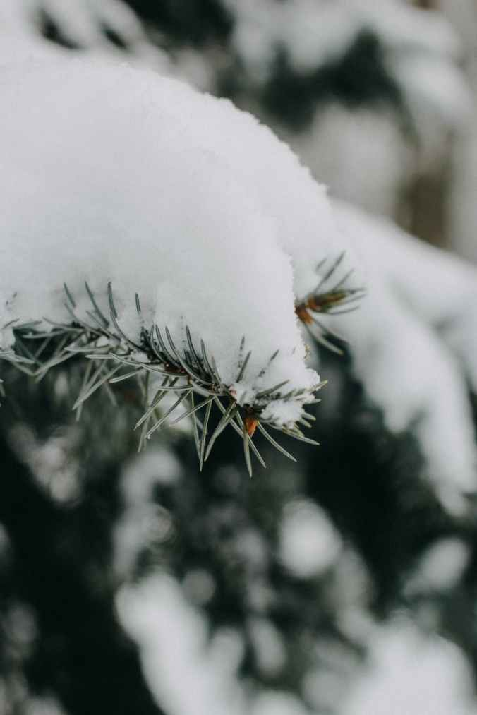 snow covered green plant