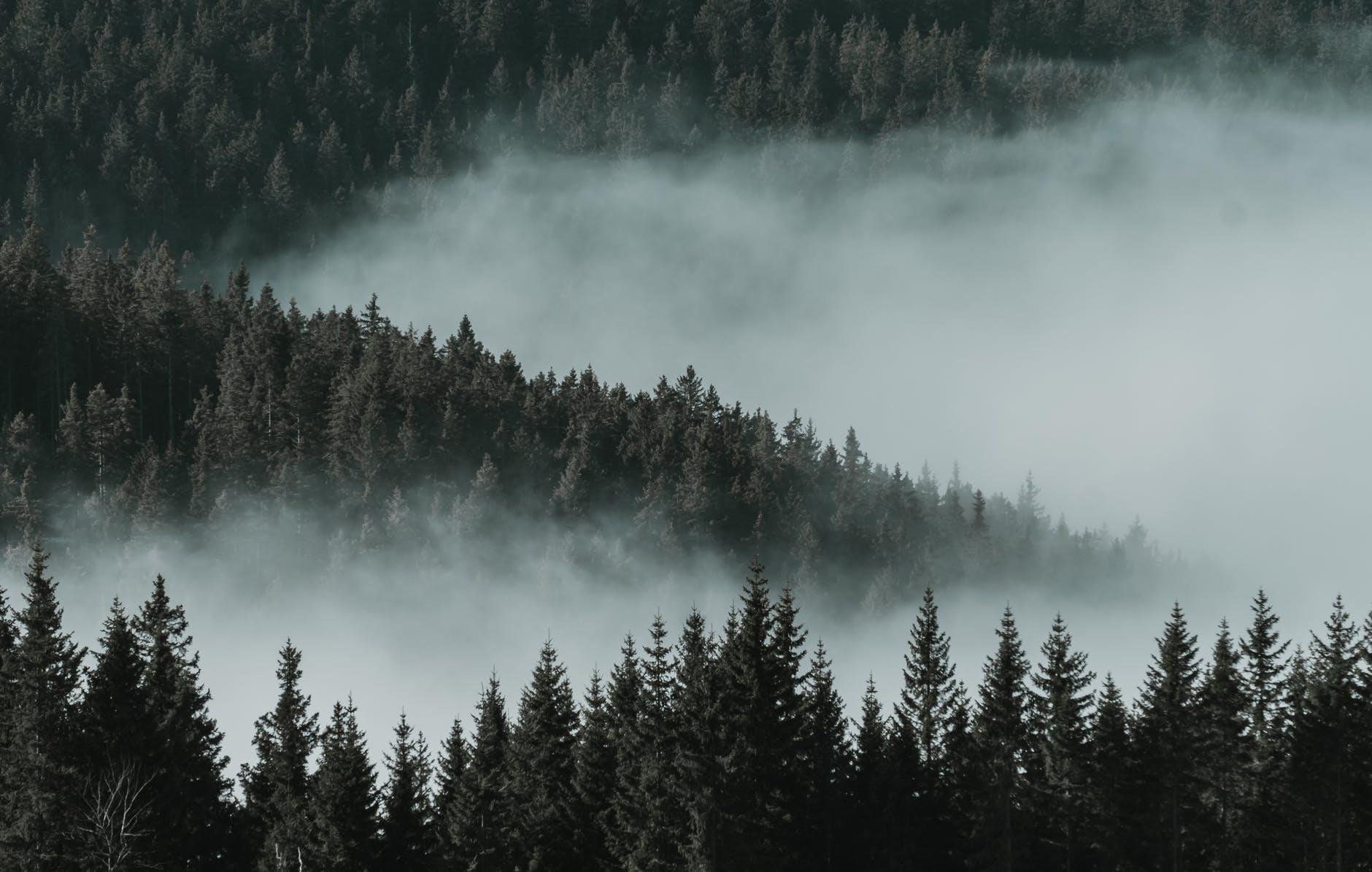 bird s eye view of pine trees